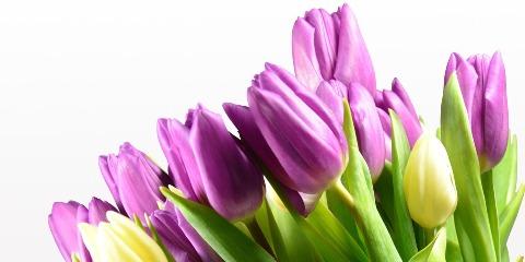 tulips-527412_1920aaaaa